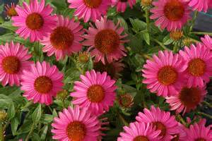 echinacea flower picture 7