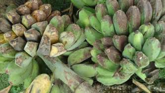 banana plantain varieties picture 7