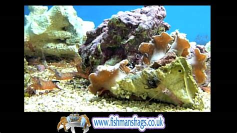 peppermint shrimp feeding picture 13