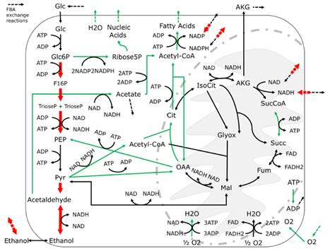 yeast metabolism picture 5