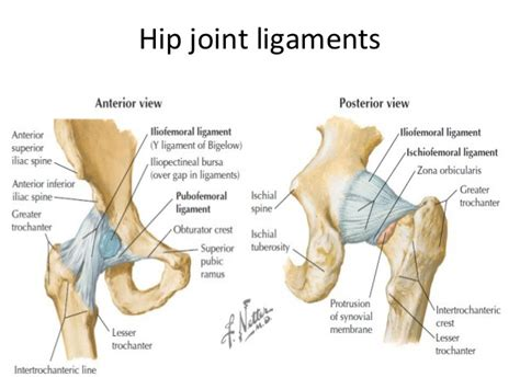 anatomy of the hip joint picture 13