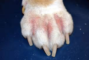 dog skin allergies picture 5