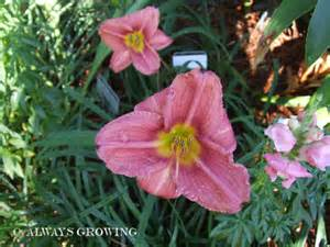 daylily little wart picture 1