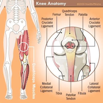 muscles around the knee joint picture 2