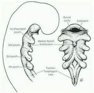 anatomy of the thyroid picture 2