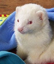 ferret digestion picture 5