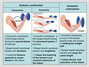 and isotonic muscle contraction picture 14