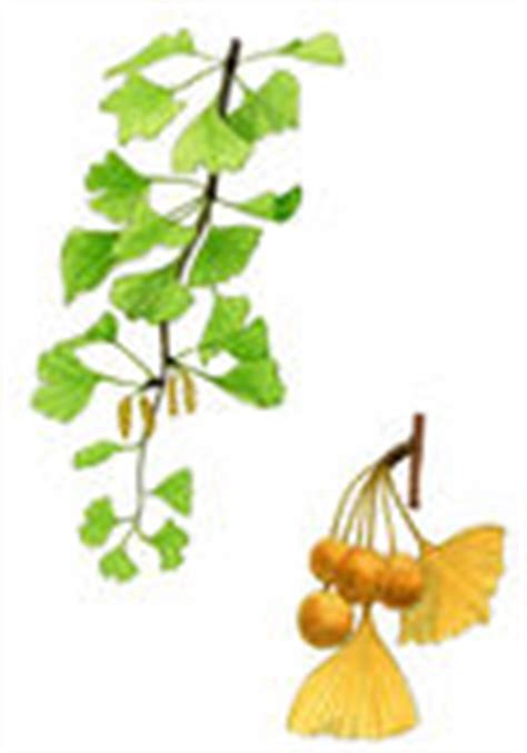 ginkgo biloba and apricot cleanse picture 2