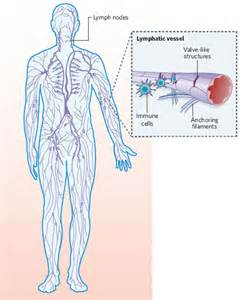 cellulite lymph system picture 15