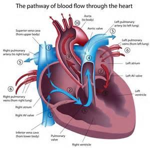 feline hyperthyroid heart murmur picture 2