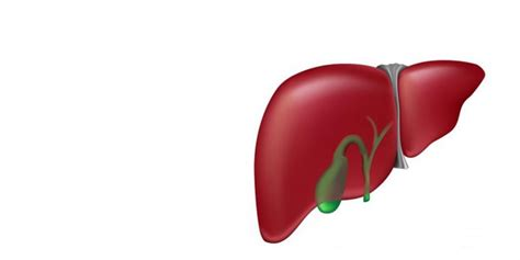 facts about the human liver picture 15