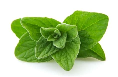 using oregano on skin cysts picture 9
