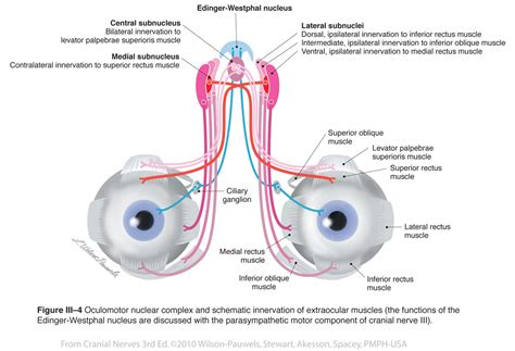 ciliary muscle picture 10