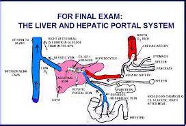 blood flow in the liver picture 13