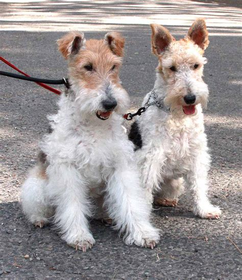 wire hair terrier picture 7
