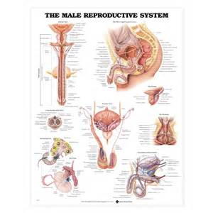 jakol i male reproductive systems picture 3