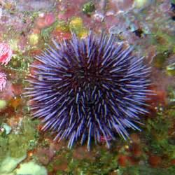 sea urchin cholesterol picture 1