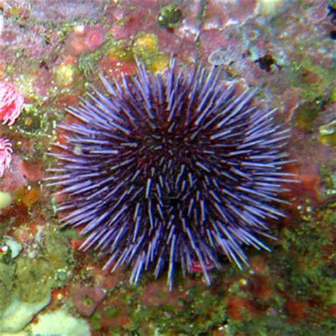 cholesterol in sea urchin picture 1