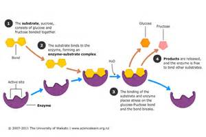 what chemical reaction is involved in digestion picture 2