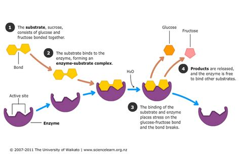 what chemical reaction is involved in digestion picture 6