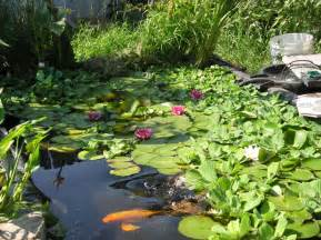 water plantain picture 17