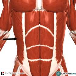 external muscle picture 2