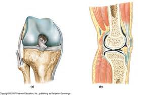 knee joints picture 7