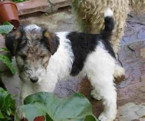 long haired foxterrier picture 5
