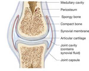 synovial joints picture 1
