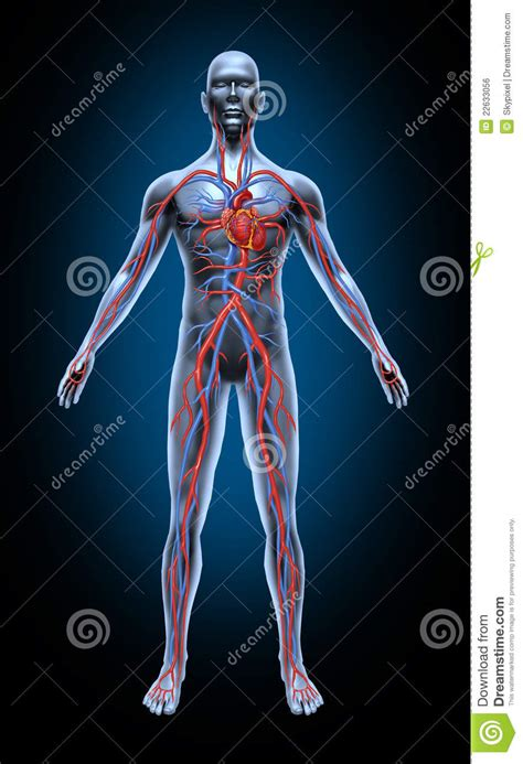 animation of the heart blood flow picture 8