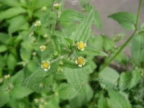 Herbal high sticky salavia picture 11