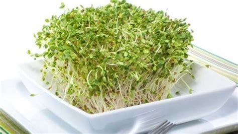 are alfalfa sprouts safe picture 9