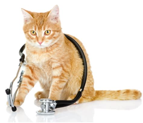 feline pain relief therapy picture 6