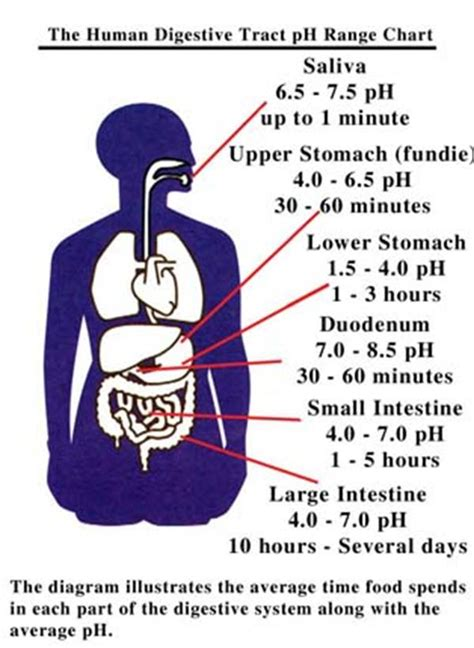 transit time for water from stomach to bladder picture 1