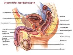 vidieo of human sexual anatomy and male penis picture 13