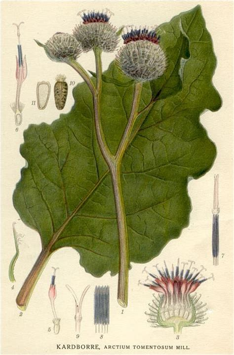 burdock root and cancer picture 11