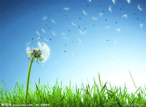 dandelion flower pictures picture 9