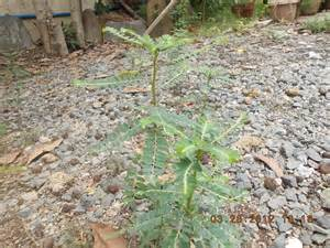 quiapo herbal plants picture 10