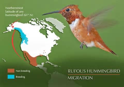 hummingbird diet picture 7