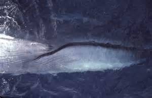how many h does a baleen whale have picture 2