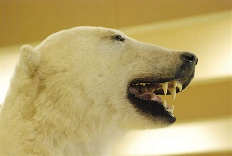 bear teeth picture 10