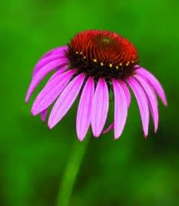 can pregnant women take echinacea picture 3