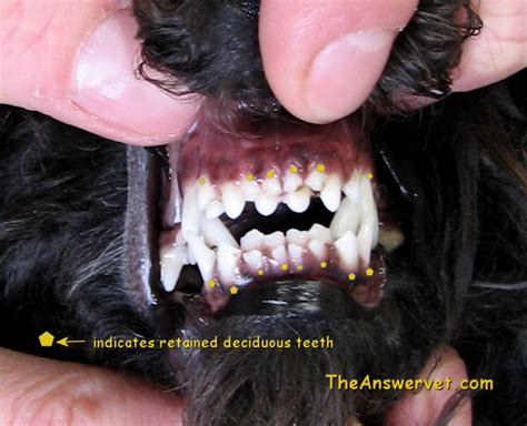 dog teeth growing in with another tooth picture 1