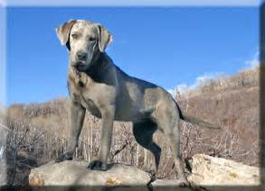 muscle atrophy in older labradors picture 14