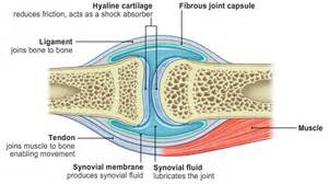 synovial joints picture 14