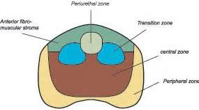 Prostate gland structure picture 14