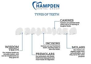 functions of our various teeth picture 17