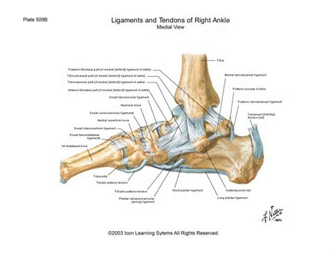 ankle joint diagram picture 17