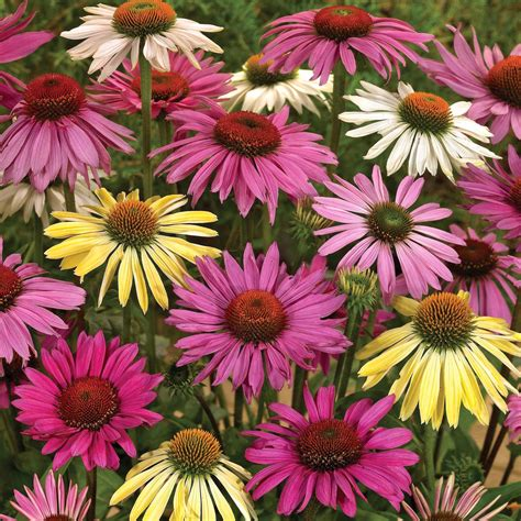echinacea plants picture 6