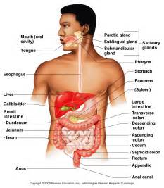body going through digestion picture 15